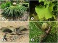 Признаки голосеменных растений. Виды и примеры